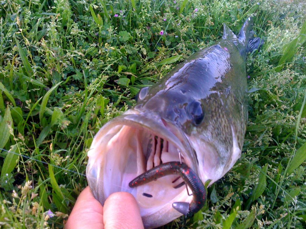 Black bass 52 cm catturato a gomma vicino a Milano