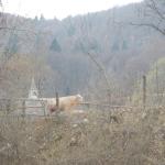 Mucca e Chiesa in Valsesia