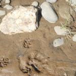 Bear footprint - Impronte di orso