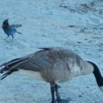Fauna al Lake Tahoe