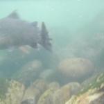 Release Marmorata underwater shot
