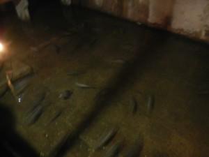 Le carpe oggi nelle acque della Cisterna istanbul