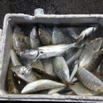 Catture: Mormore del mar di Marmara
