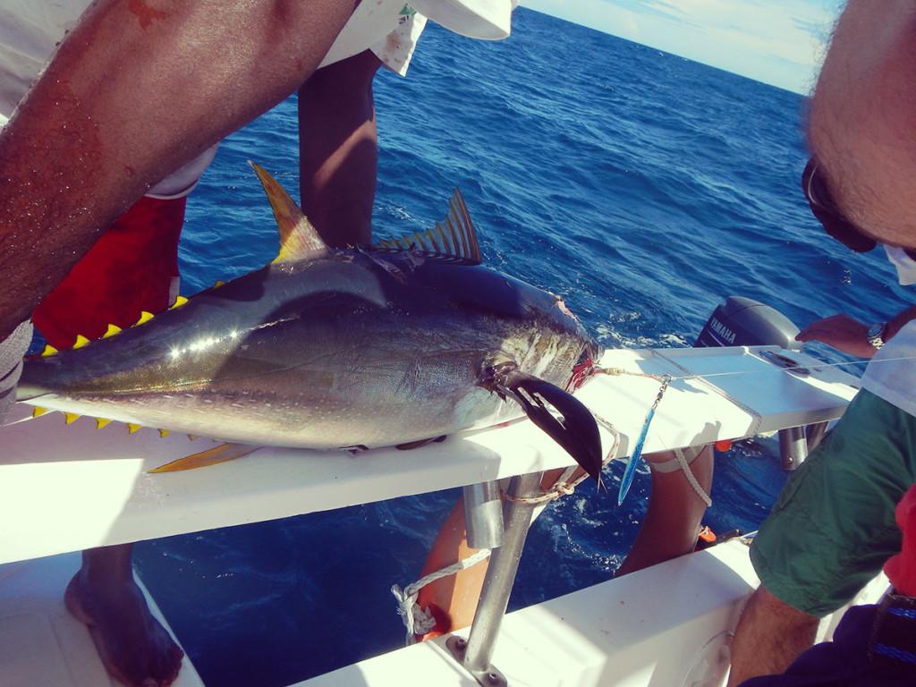 Yellofin smangiucchiato da squalo