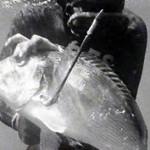 Cattura subacquea - da ilovepescasub.com