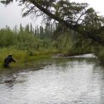 Pescando temolo a secca in Alaska
