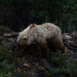 Orsetto nel bosco... Alaska!