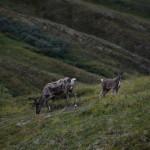 Caribou passeggiano con noi