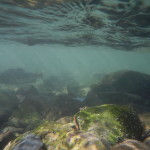 pink salmon in risalita. Underwater shot