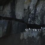 pinguini alaskani