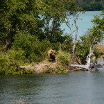 Grizzly arriva al fiume...