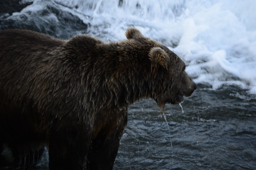 Grizzly in pesca!