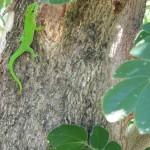 Camaleonte malgascio