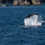 Balena nel mare d'Alaska