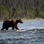 Grizzly Bear Alaska