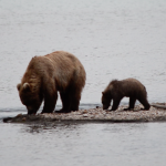 Bear Grizzly, mom and cub