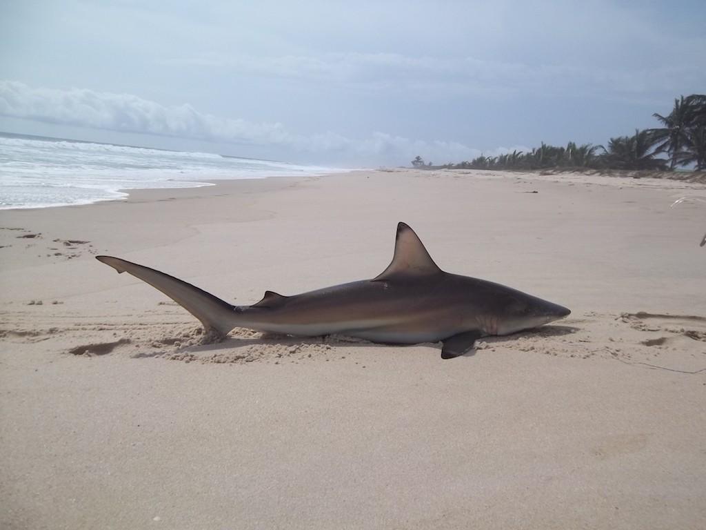 Blacktip o squalo pinna nera preso in Gabon