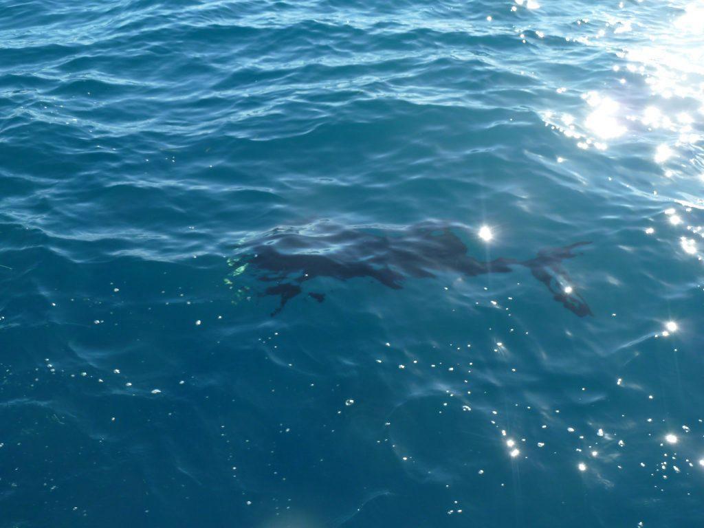 Pesce Vela, Sailfish
