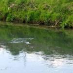 Un fontanile, habitat naturale del luccio (da www.massimomagliocco.it)