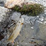 Spettacolare salmerino fontinalis