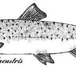 Disegno della Trota Lacustre