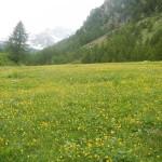Prato e fiori di montagna