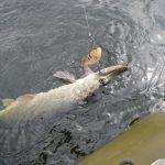 Luccio pike fishing denmark danimarca