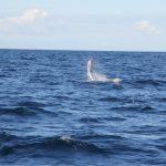 Salto del grande pesce vela