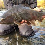 Grande temolo di Valtellina, pesca a ninfa. GLoomis NRX 10' #3