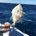 Un trigger fish... preso a bottom fishing